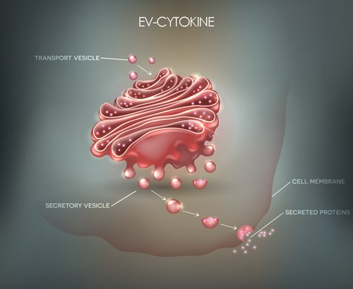 papilla ev cytokine diagram
