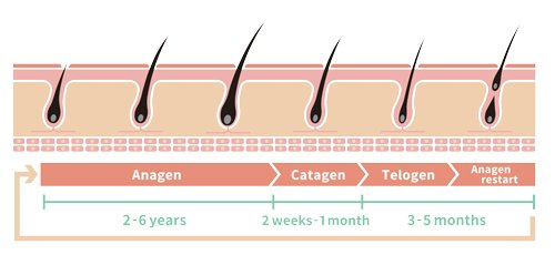 papilla hair growth cycle image