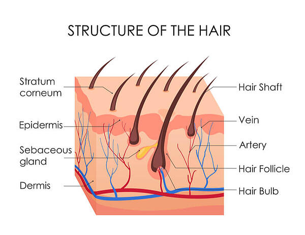 structure of hair diagram