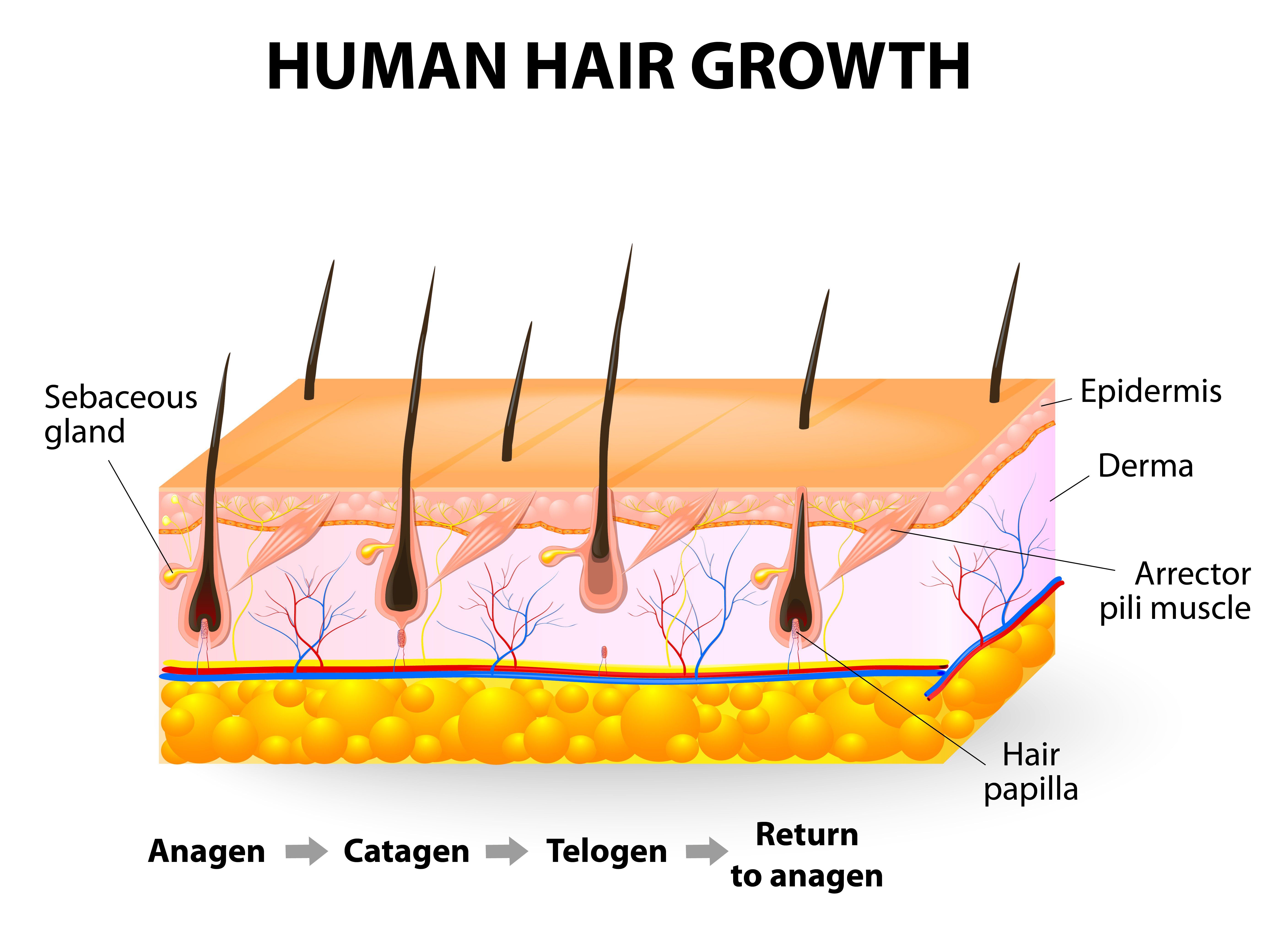 normal-hair-growth-cycle